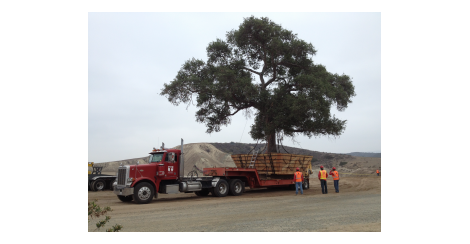 Tractor trailer delivering a tree